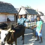 Dans le village, on se déplace en charette à zébus