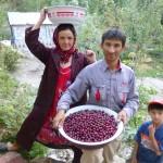 Récolte de cerise à la guesthouse