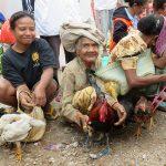 Poules à vendre! Timor