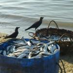Corbeaux et poissons