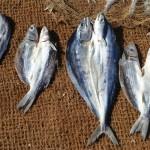 Préparation des gros poissons
