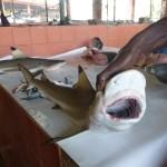 Requin sur le marché de Trinco