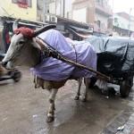 Vaches sous la pluie à Pahargang