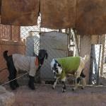 Pulls de chèvres