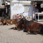 Vaches sacrées