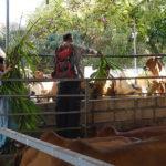 Gil nourrit les vaches