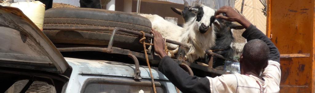 Tout va bien chèvres
