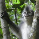 le thomas leafs race de Sumatra
