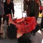 Présenté sans sa peau à Ushu - Kham -  Chine