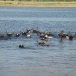 Zébus nageurs et leur maitre