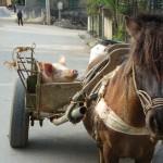 Transport de porc à Bac Ha - Vietnam