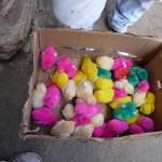 Poussins colorés à Silvia - Colombie