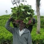 Plantations …