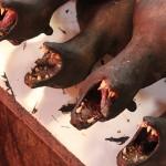 Gueules de chauve-souris