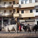 Vaches de ville