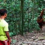 On approche très près des orang-outangs