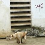Un chien bien éduqué ! Bac Ha - Vietnam