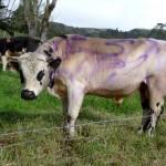 """Une vache """"Milka"""" à El Cocuy - Colombie"""